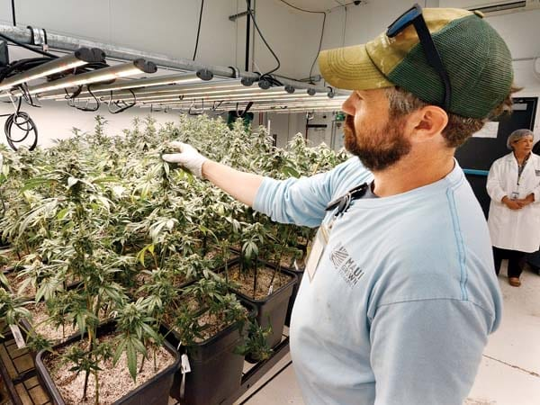 Maui Grown Therapies Director of Product Development Christopher Cole inspects cannabis plants that are nearly ready to harvest.