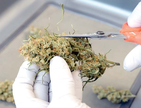 A worker trims a marijuana bud in the Trimming Room